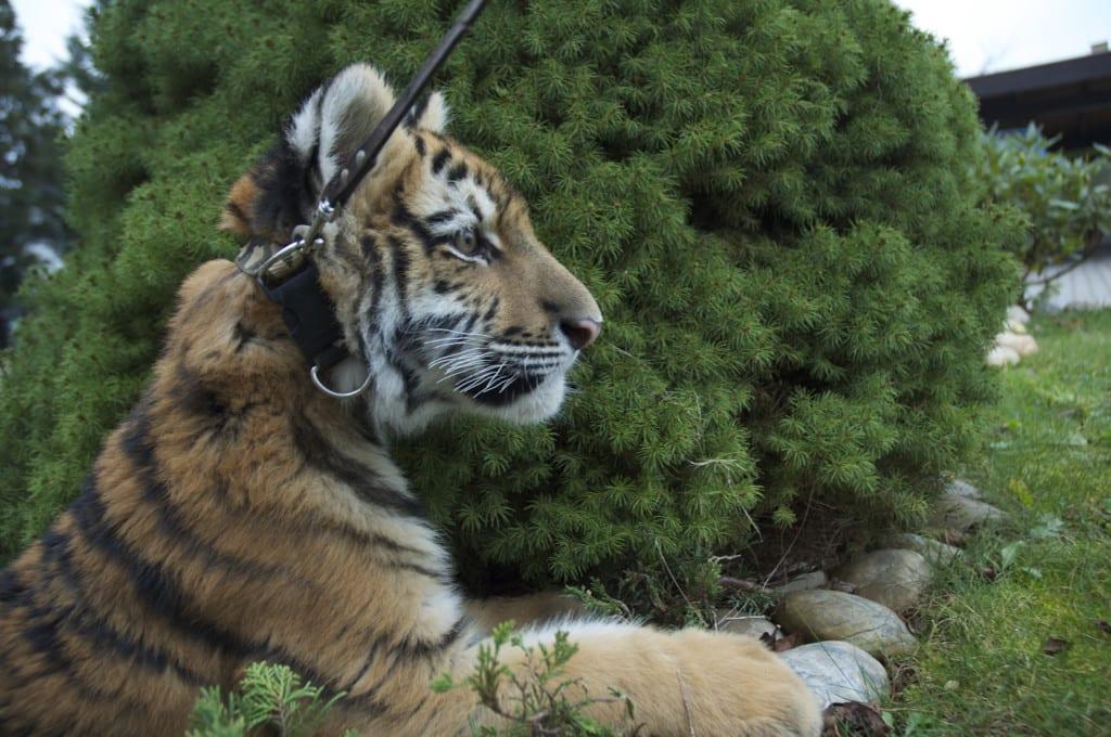 Tygr v ZŠ Sofie Říčany